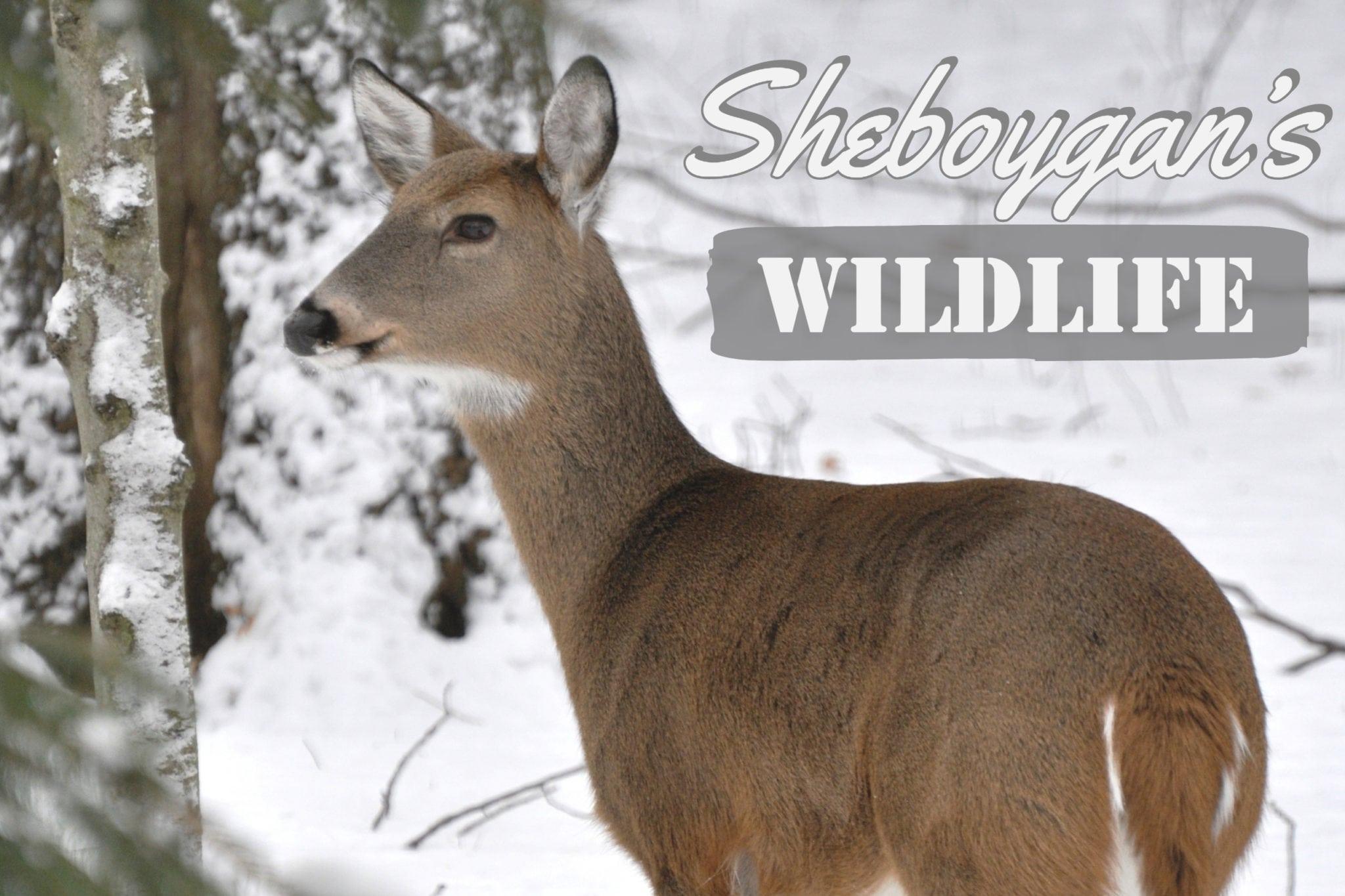 Sheboygan's Wildlife